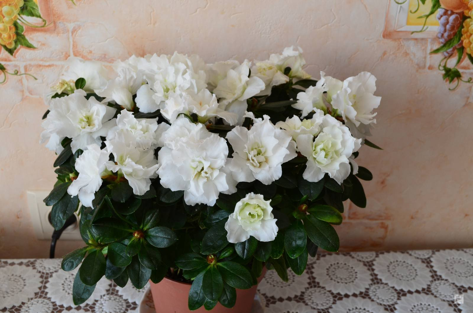 Цветок белая азалия