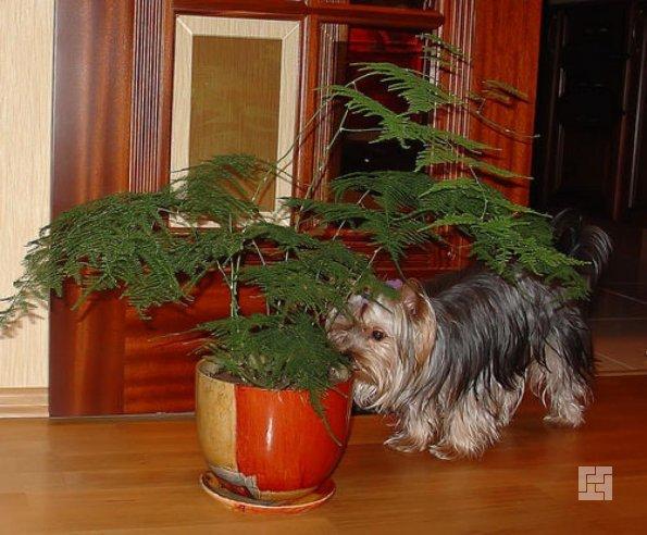 Собачка возле вазона с аспарагусом