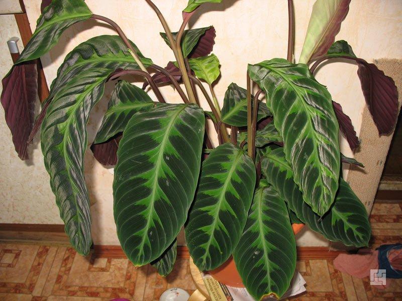 Цветок бальзамин  болезни и вредители опадают листья
