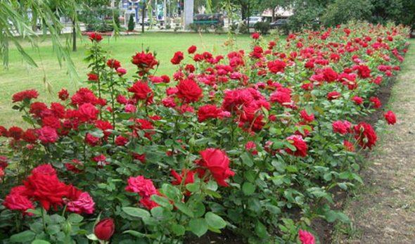Аллея из роз