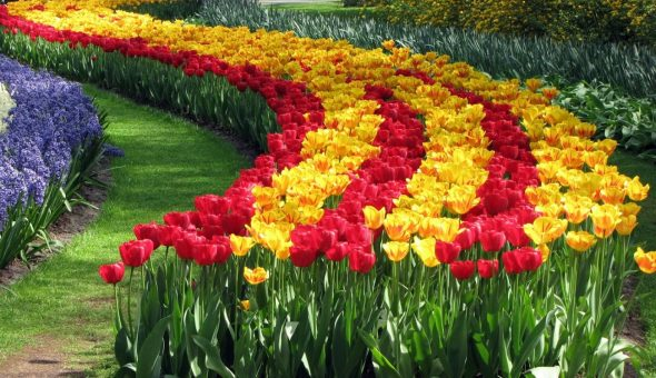 Клумба из желтых и красных тюльпанов