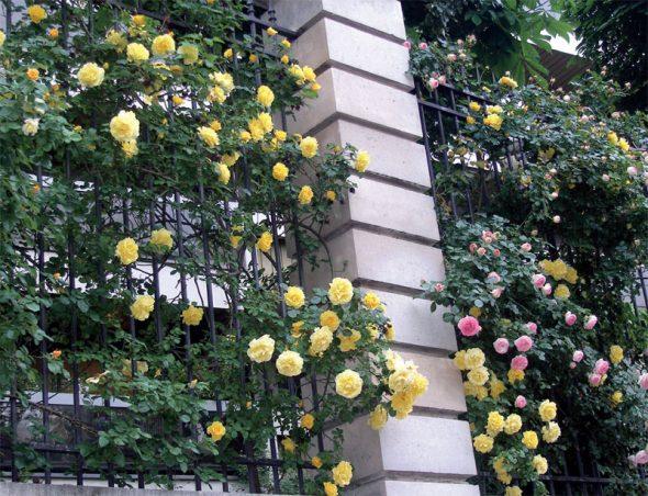 Плетистые розы на кованом заборе