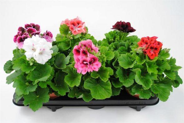 Самое распространенное растение для увлажениея воздуха — герань