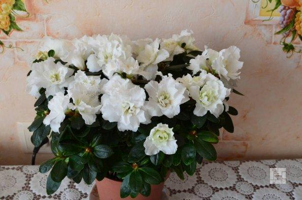 Цветет белая азалия