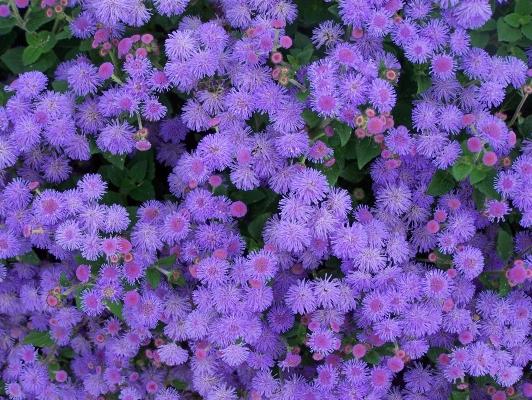 Цветущий Агератум