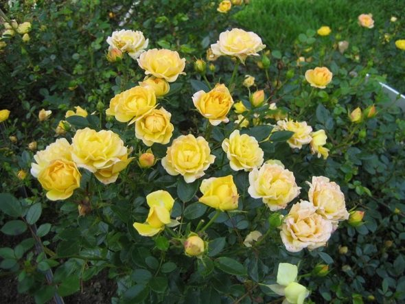 мелкоцветковые розы