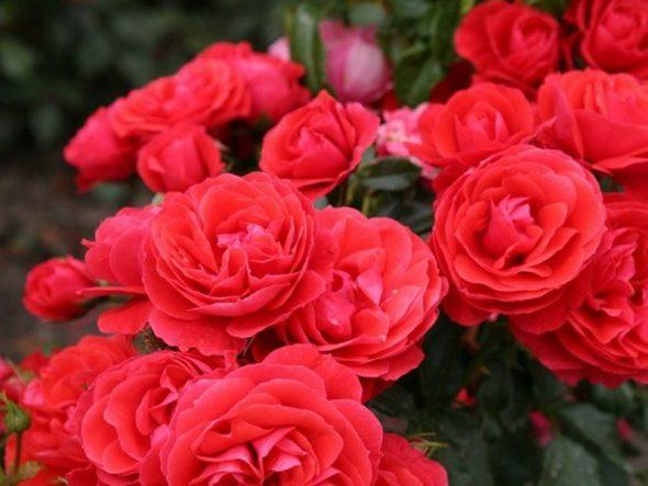 опилки розы