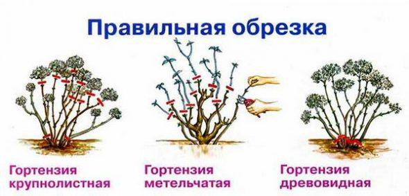 Схема обрезки гортензии