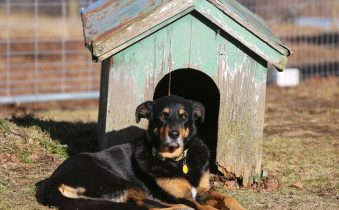собака у будки