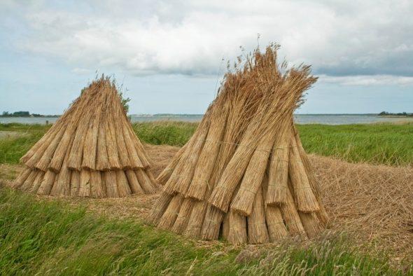 Снопы тростника