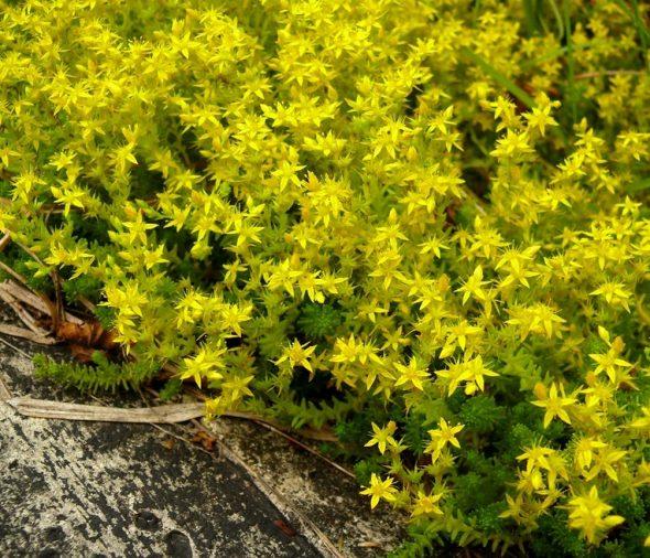 Суккуленты в саду — очиток едкий (Sedum acre)