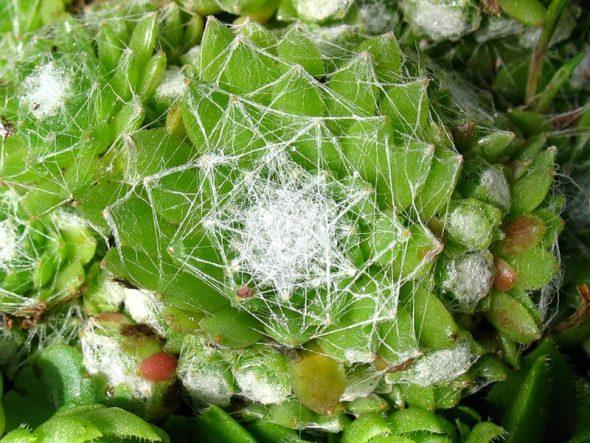 Молодило паутинистое (Sempervivum arachnoideum)