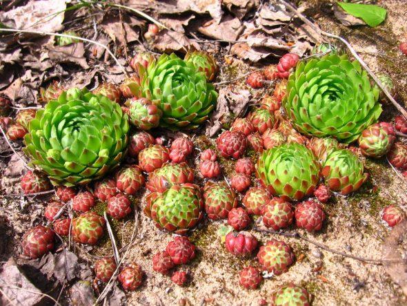 Молодило шароносное (Sempervivum globiferum)