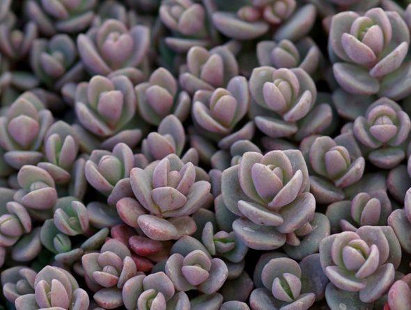 Очиток васильковый (Sedum cyaneum)