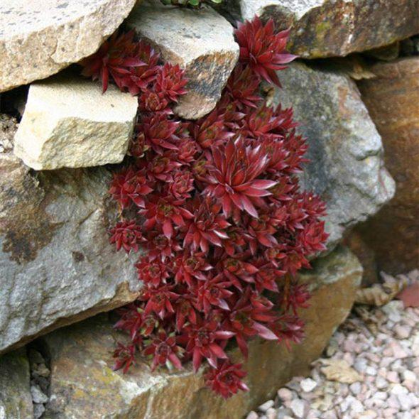 Молодило красное с игольчатыми листьями