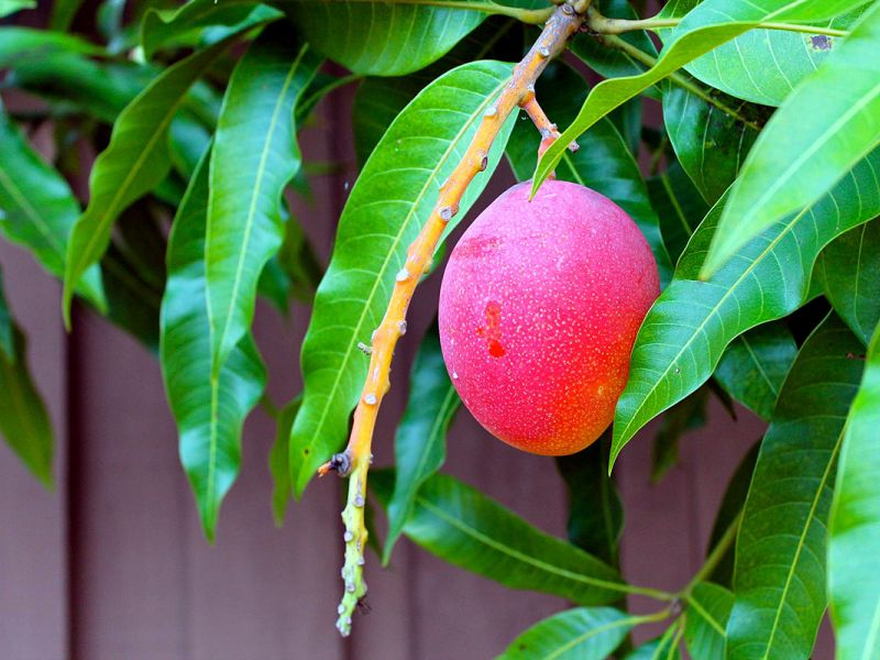 Тропики на подоконнике: как посадить манго из косточки дома