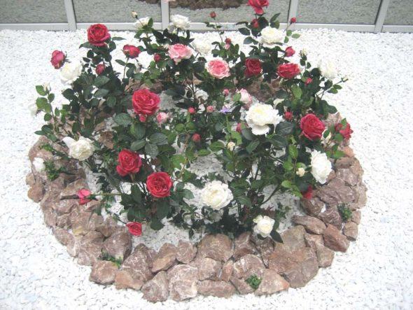 Клумба с розами