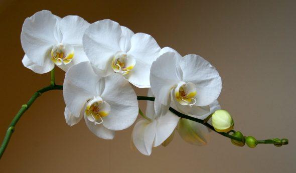Орхидея — комнатное растение для южных окон